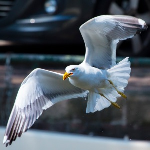 Sea gull flying on the canals of Amsterdam.