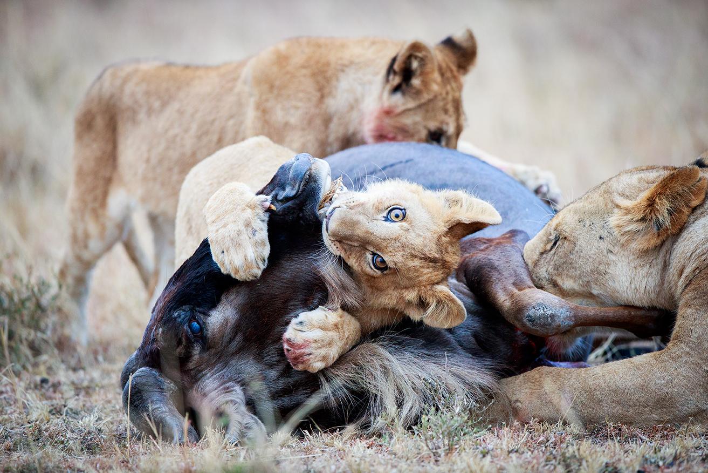 lion-cub-with-a-kill-posting